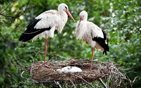 Two storks and small - storks, young, nest, Two, birds