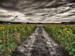 Flowers - sunflowers
