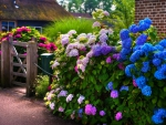 Colorful Hydrangea At The Gate