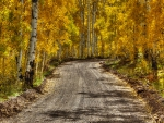 Dirt Road in Autumn Birch Forest