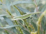 Pretty Green Anole