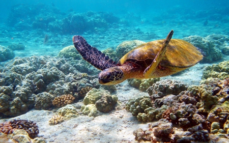 Coral Reefs Sea Turtle - Sea, Turtles, Nature, Underwater, Coral Reefs