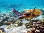 Coral Reefs Sea Turtle