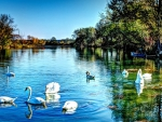 SWANS at LAKE