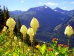 Beargrass on Granite Mountain trail