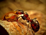 Ant - drop water