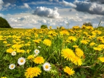 Daisies in Dandelion Field