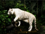 White Tiger ~