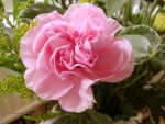 one single carnation  pink
