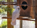 White Cockatoo f