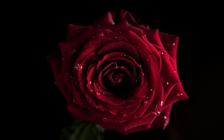 Gorgeous Red Rose - red, water, wet, rose, nature, drops
