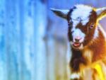 Small parti goat