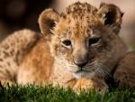 Small cheetah