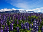 Mountains - blooming lupines