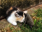 Small cat and hedgehog