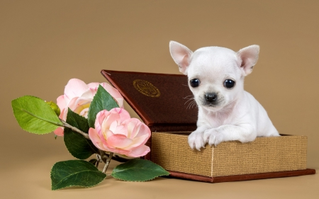 Chihuahua - chihuahua, brown, box, animal, sweet, cute, green, flower, white, pink, dog