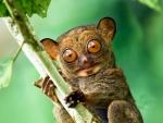 western tarsier sabah borneo