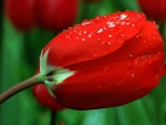 Drops on Red Tulips