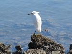 Egret on the rocks
