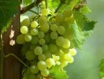*Sweet Grapes*