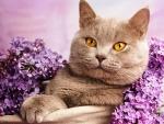 Cat - lilac