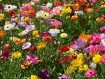 Colorful anemones