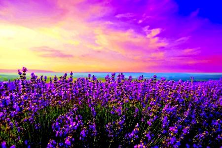 Lavender field fields nature background wallpapers on desktop nexus image 1959450 - Lavender purple wallpaper ...