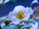 White blooming peony