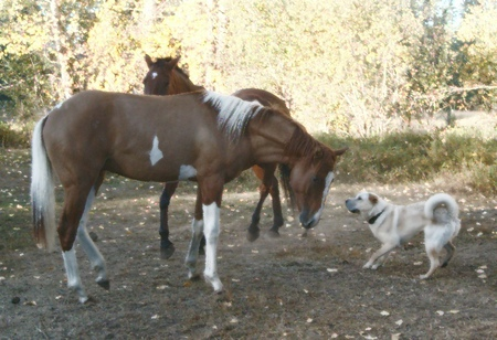 Casey and Gemini - dogs, horses, playing tag