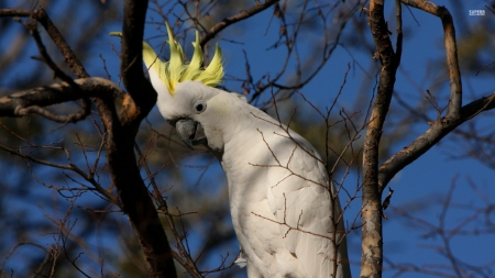 sulphur crested cuckatoo - sulpher, bird, crested, cuckatoo