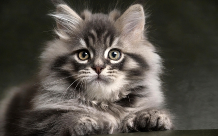 Long Haired Gray Kitten Cats Animals Background Wallpapers On