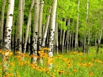 Sunny Birch Forest in Spring