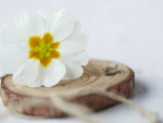 White Primula Flower