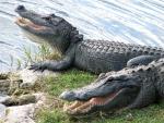 Two alligators