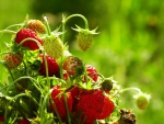 Strawberries forestry