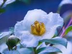 White Peory