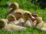 Small ducks