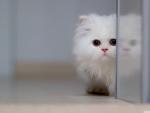 Beautiful White Cat ... ♥♥