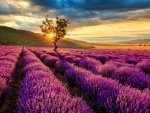 Sunset lavender field