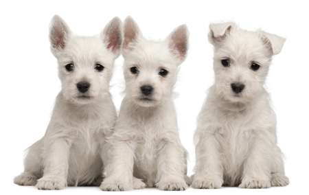 Puppies - cute, adorable, white, puppy, dog, animal