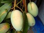 Philippine Carabao Mangoes