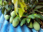 Carabao Mangoes at Roof Top