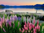New Zealand lupins