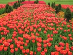 carpet of tulips