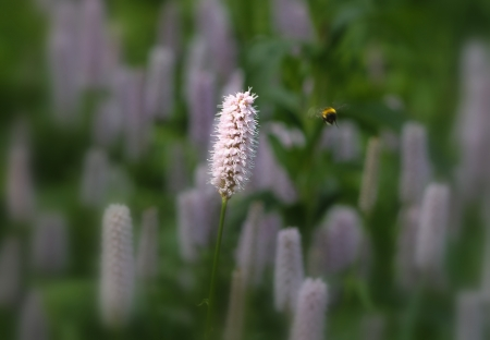 Bee and flower - netherlands, bee, background, wallpaper, flower, dutch nature