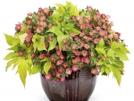 Petunia's flowers