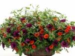Petunia's bright flowers