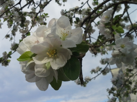blossoming tree - tree, photography, blossoming, flower, nature, beautiful, spring
