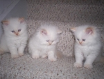 Cute Himalayan Kittens