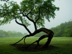 Bowing tree